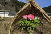 長谷寺 (tsuguakinara) Tags: japan nara temple winter flower canon eos 5d 5dmark3 5dmk3 日本 奈良 寺 長谷寺 冬