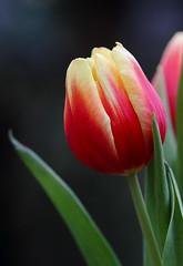 Springtime Pleasure (AnyMotion) Tags: tulip tulpe tulipa petals blütenblätter leaf blatt spring frühling primavera printemps 2017 floral flowers macro makro frankfurt plants anymotion vase colours colors farben yellow gelbge red rot 7d2 canoneos7dmarkii makroaufnahmen