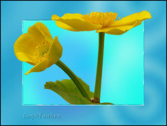 Kingcup (Tony / Guy@Fawkes) Tags: flower yellow petals spring marshmallow soe kingcup thesuperbmasterpiece sensationalcreationsofexcellence 100pluscommentgroup 100commentgroup saariysqualitypictures