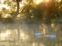 Swans on the river Thame (net_efekt) Tags: life morning shadow england orange white mist bird love nature birds animal yellow misty fog fairytale contrast sunrise river landscape gold golden early swan glow shadows nebel natural natur dream foggy royal aves lovers steam gelb swans oxford ambient romantic dreamy elegant majestic magical graceful schwan soulful oiseau oxfordshire atmospheric steamy cygne cygnes vie oxon gracefull thame cygnus romantisch fogel 30favs 1500views soulfull ourplanet swanlovers dreamingswans