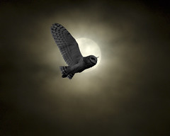 Barn owl in the moon (Romair) Tags: moon art nature birds clouds scenic explore owl composit photoshopelements odt instantfave i500 superbmasterpiece diamondclassphotographer onlythebestare ourdailychallenge