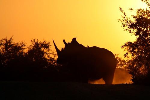 White Rhino at Sunset