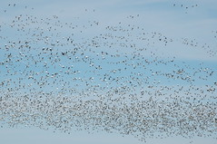Greater Snow Geese (Rog Clark) Tags: ottawa snowgeese