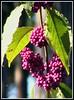 Miniature (Jean-christophe 94) Tags: paris flower fruit purple violet parcfloral jc94 jeanchristophe94
