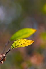 Twins (olvwu | 莫方) Tags: autumn usa macro green fall yellow canon ga georgia leaf 100mm savannah yellowleaf jungpangwu oliverwu oliverjpwu canonef100mmmacrof28usmlens olvwu anawesomeshot jungpang 莫方 吳榮邦