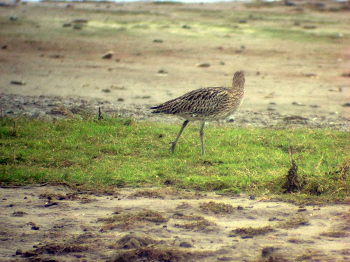 curlew4