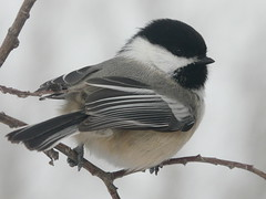 Wind chill -23C (annkelliott) Tags: canada calgary bird nature wildlife alberta blackcappedchickadee fishcreekpark poecileatricapillus naturesfinest interestingness301 specnature annkelliott burnsmead avianexcellence fz18 panasonicfz18 panasonicdmcfz18 p1010833fz18 explore2007december1