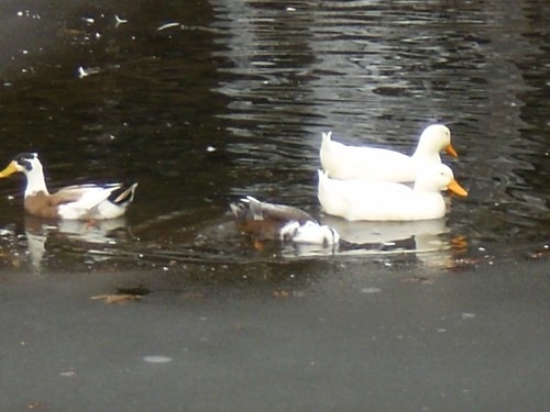 Ducks on the mill pond