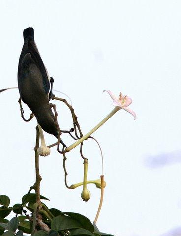 sunbird on the indian cork flower(akasha mallige) pune 181207