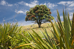 Tawharanui Pohutukawa in New Zealand (Jonathan!) Tags: blue newzealand sky plants cloud tree green beach nature ecology grass clouds scenery skies native land environment grasses agriculture northland environmentalism forests flax pohutukawa ecosystem agronomy tawharanui dominantcolor dominantcolour herbacious