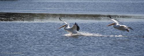 American White Pelican-3