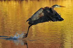Leaving At Dusk (ozoni11) Tags: lake fish bird heron nature birds animal animals danger fly flying wings fishing nikon flight wing lakes wetlands hazard greatblueheron herons wetland d300 abw naturesfinest blueribbonwinner greatblueherons supershot flickrsbest animaladdiction michaeloberman abigfave anawesomeshot ozoni11 superbmasterpiece