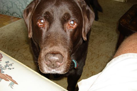 chocolate labrador retriever - Spike and Coco