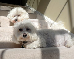 Bichon Frise Puppies on the steps. (garyhymes) Tags: shadow dog pet sunlight white cute love home dogs puppy fur nose pair steps explore cameron winner squint bryce bichon bichonfrise inside paws lovelovelove collar sunbeam allyouneedislove familypet mywinners impressedbeauty goldstaraward snowywhitecolors