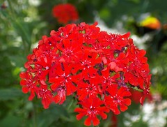 BurningLove (Elsa Kurppa) Tags: red summer flower suomi finland blomma 2007 sommar kes  rd punainen  kukka burninglove  lychnischalcedonica brennendeliebe  palavarakkaus brinnandekrlek elsakurppa