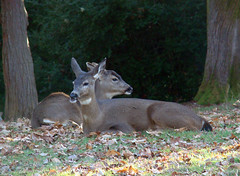 resting in the park (artistgal) Tags: two animals wildlife deer jalalspagesanimalkingdom