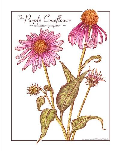 The Purple Coneflower