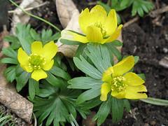 IMG_1556 (Brooklyn Botanic Garden) Tags: bbg brooklynbotanicgarden earlyspring photographermediblum