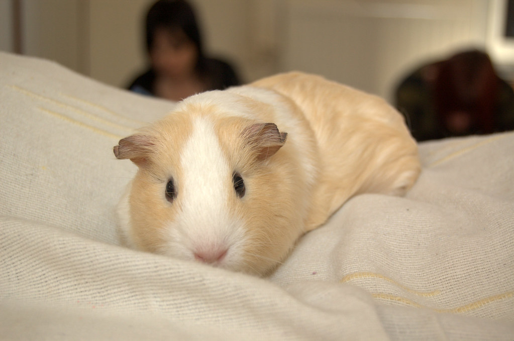 Pictures Of Guinea Pigs Animal Photos