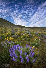 Wildflower Vortex (Zack Schnepf) Tags: sky usa flower field river landscape washington spring columbia hills gorge wildflowers zack lupin lupine balsamroot firstquality schnepf