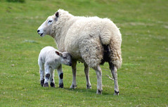 Feeling Woolly... (law_keven) Tags: england nature animals sheep lamb farms livestock essex dedham farmanimals woolly impressedbeauty superbmasterpiece diamondclassphotographer theperfectphotographer
