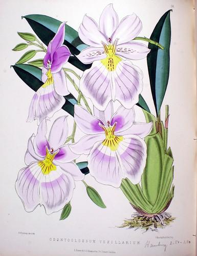 Odontoglossum vexillarium