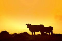 Tacuruses (Eduardo Amorim) Tags: sunset brazil southamerica field silhouette brasil atardecer kuh cow rind tramonto sonnenuntergang cattle cows farm ox campo estancia ganado silueta oxen mucca riograndedosul ferme bauernhof poniente bois champ khe anoitecer vache hacienda vaca fazenda vacas brsil vaches boi buey entardecer crepsculo silhueta amricadosul pavo mucche poente podere boeuf vieh amriquedusud umris boeufs buoi sudamrica rinder gado suramrica amricadelsur bueyes sdamerika estncia mue bestiami btail americadelsud siluetta capodoleo americameridionale auffangen eduardoamorim tacurus tacuruses