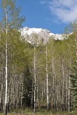 Aspens (BsidetheC) Tags: rockies banff banffnationalpark canadianrockies