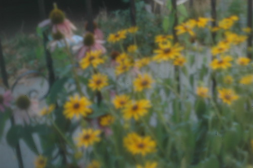 black-eyed Susans and echinacea