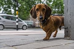 4778 (explored) (.niraw) Tags: amsterdam hund strasenfotografie strasenecke auto dackel niraw schlappohren blickkontakt niederlande