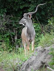 Kudu, South Luangwa, Zambia