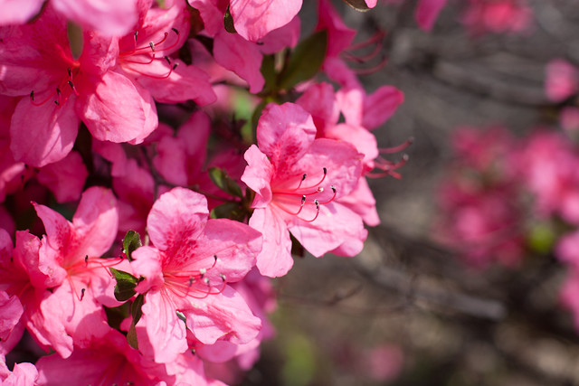 Pink Spring.
