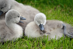 Hey, are you sleeping? (ctberney) Tags: ontario canada sleepy swans naptime cygnets stratford avonriver