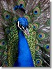 Ain't I beautiful? (♡ Popotito ♡) Tags: bird argentina zoo buenosaires colorful peacock colores explore ave pavoreal pavo colorido zoologico capitalfederal superbmasterpiece diamondclassphotographer popotito saariysqualitypictures