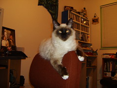 DSCI0047 (phildingo) Tags: cute furry adorable fluffy siamese kittens cuddly himalayan zeek finnian burmin