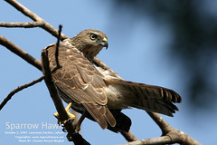 Sparrow-Hawk-1,-Nov-2,-2007_Lawrence-Garden.-Lahore (GHULAM RASOOL MUGHAL) Tags: pakistan nature lahore beautifulpakistan avianfauna wildlifeofpakistan ghulamrasoolmughal