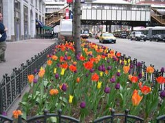 Tulips-in-ChiCago