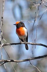 146015-IMG_3149 Red-capped Robin (Petroica goodenovii) (ajmatthehiddenhouse) Tags: bird australia victoria vic 2007 petroica redcappedrobin petroicagoodenovii goodenovii
