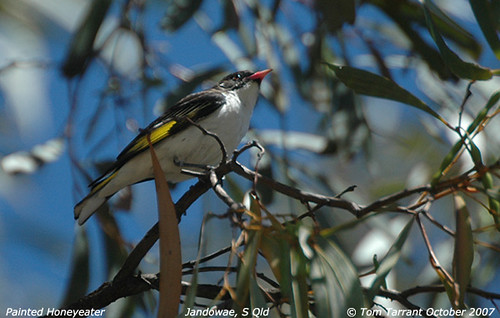 Painted Honeyeater (Grantiella picta)