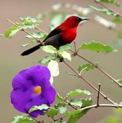 Crimson Sunbird - Aethopyga siparaja (Andrew Siani) Tags: sunbird