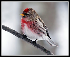 Common Redpoll (nature55) Tags: winter bird nature wisconsin outdoors aves mercer upnorth naturesfinest commonredpoll amazingshot ar1 specanimal nature55 platinumphoto avianexcellence platinumheartaward