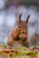 Because Squirrels Love Hair Gel! (BarneyF) Tags: red liverpool point squirrel wildlife formby naturesfinest mywinners