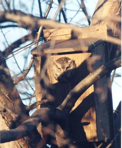 Screech Owl 01