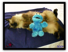Couple (aunqtunolosepas) Tags: blue friends two pet cats pets amigos cute love cookies animal animals monster azul cat toy toys hug feline funny couple phone bea k750i sweet pareja amor ericsson pair sony sonyericsson adorable movil gatos cutie dos gato missy pairs gata felinos felino felines animales hugs lovely cuteness siames amici mascota mascotas juguetes abrazo par gatita juguete monstruo phoneshot peluche peluches divertido siamesa gracioso abrazos graciosa triki bichito amoroso fotomovil monstruodelasgalletas trikie bestofcats impressedbeauty aunqtunolosepas monstruogalletas