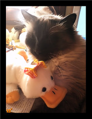 Con Patito (aunqtunolosepas♥) Tags: pet cats pets cute animal animals cat toy toys duck feline funny couple soft bea sweet pareja pair adorable gatos cutie gato ducky pato missy pairs gata felinos felino felines animales lovely cuteness siames mascota mascotas juguetes par gatita juguete patito peluche parejita siamesa gracioso peluchito cc200 bestofcats aunqtunolosepas catnipaddicts