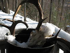 Boiled deer head