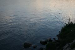 Rhne paisible, Avignon (Thomas Grascoeur) Tags: sun reed silhouette river bank rhne calm berge bleu avignon roseaux fleuve lisse tale barthelasse