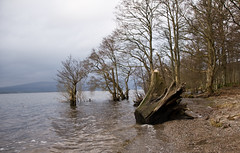 Stumpled upon this (Vyshemirsky) Tags: lake water scotland stump balloch lochlomond