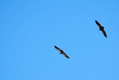 buitres leonados (crelabora) Tags: lad vulture garon buitre leonado griffon fauve rapaz gyps fulvus vautour carroero geselle