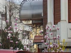 magnolii 1